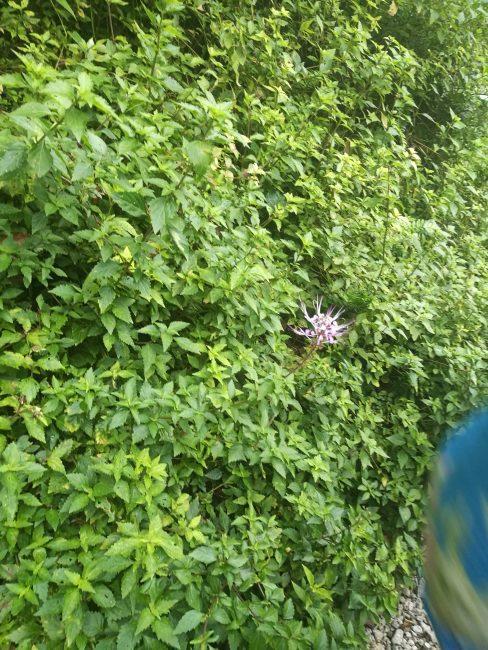 ペナン島トロピカルスパイスガーデンの薄紫色の花