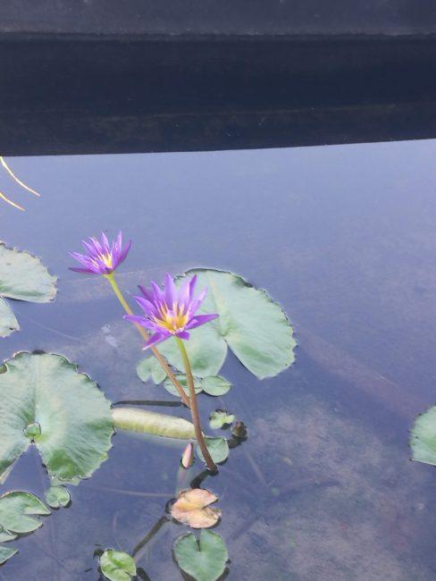 ウェスティン・スィレイベイ・リゾート&スパ プーケット エントランスの池に咲く蓮の花
